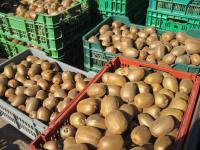 Kiwi - Harvesting.jpg